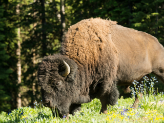 Get up close and personal with a bison.
